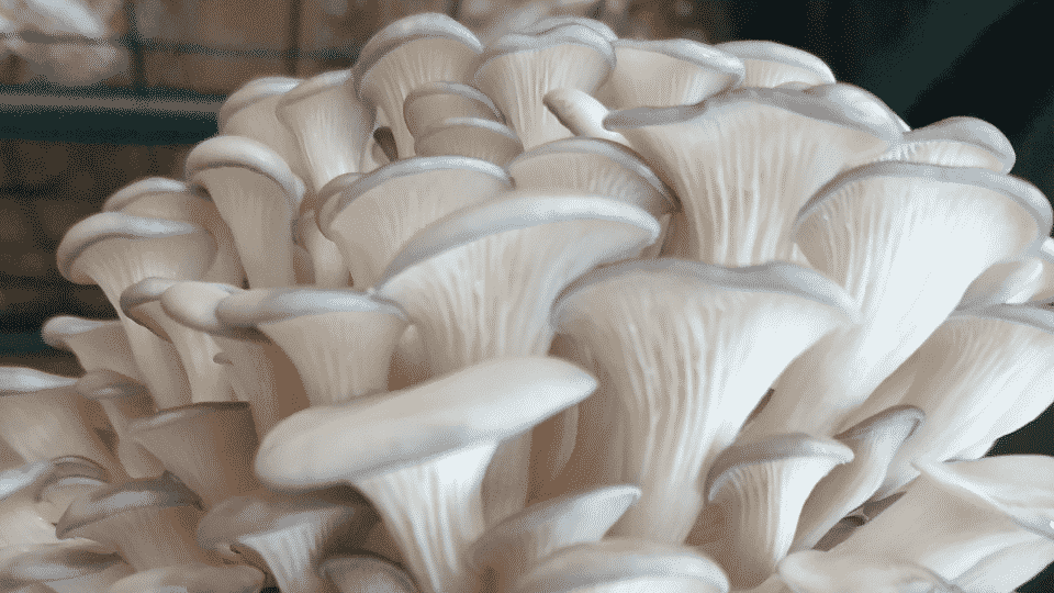 Introduction to mushroom cultivation – Rivervale
